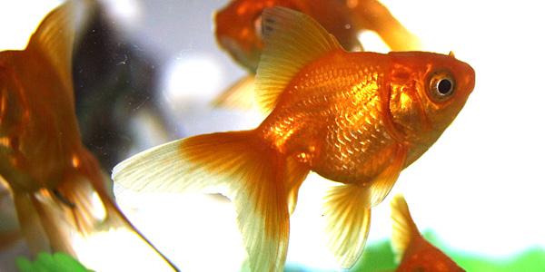 denezhnaja-rybka