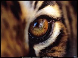 glaz-tigra