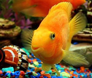 fen-shuj-rybki-v-akvariume