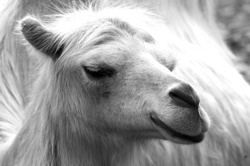 к чему снится белый верблюд