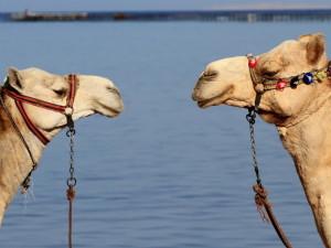 к чему снится верблюд в воде