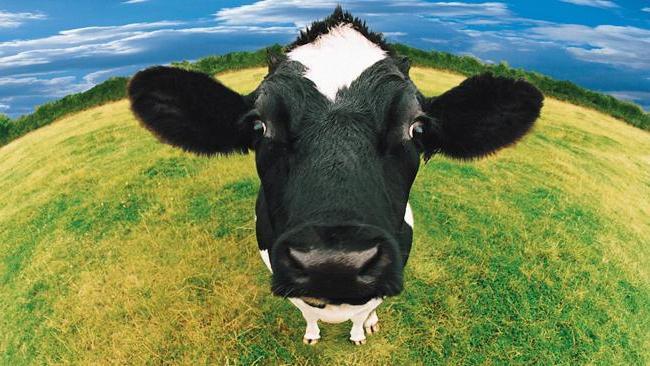 К чему снится доить корову женщине