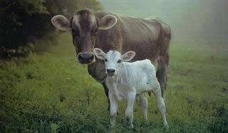к чему снится корова с теленком женщине