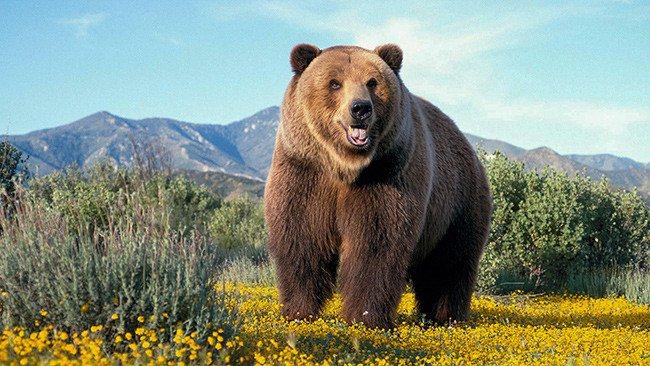 к чему снится бурый медведь