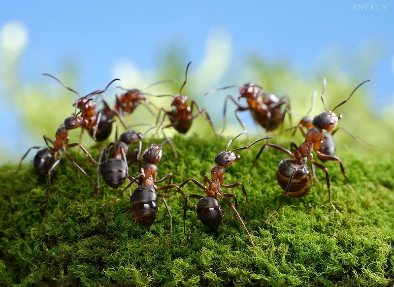 к чему снится много муравьев
