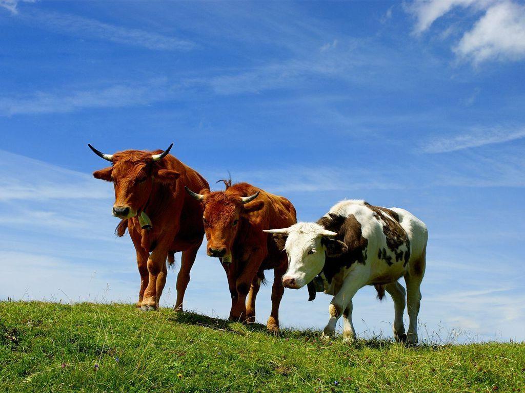 к чему снится стадо коров женщине
