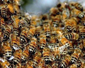приснился рой пчел