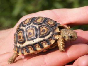к чему снится маленькая черепаха