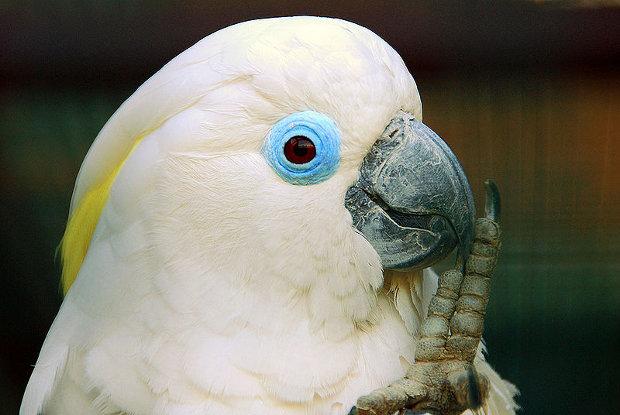 белый попугай во сне