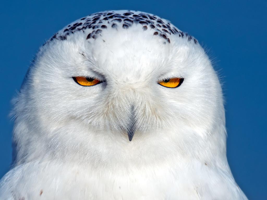 к чему снится белая сова
