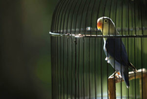 снится попугай в клетке