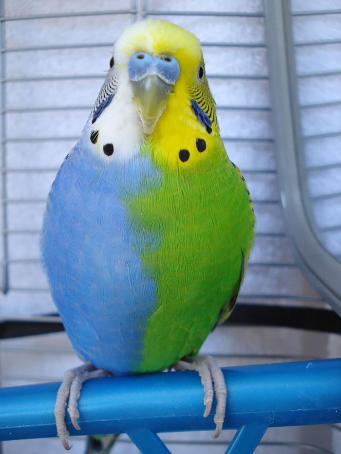 к чему снится волнистый попугай