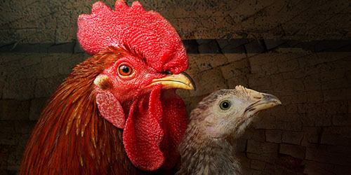 снится петух и курица