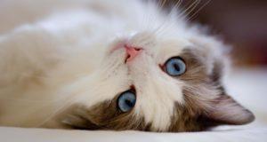 к чему снится кошка женшине